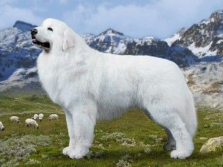 Gorgeous Representation Of The Greatpyrenees Great Pyrenees