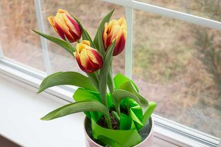 How To Take Care Of A Tulip Plant In A Pot Hunker Growing Tulips Planting Tulips Planting Bulbs