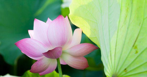 Photo Lotus by LA? VA?n Huy on 500px  #BeautifulBlossom #Beautifulflowers #BeautifulNow