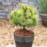 Pinus Mugo Carstens Winter Gold Garden Care Buy Garden Garden Furniture