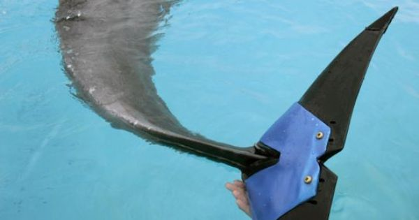 A keeper holds an artificial tail fluke attached to female ...