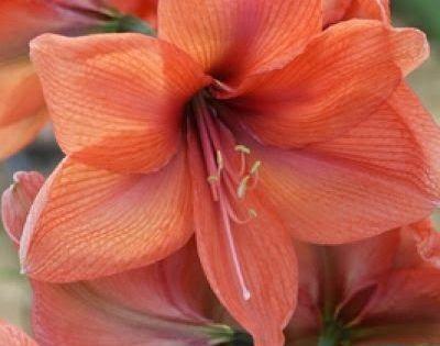 Amaryllis beautiful flowers pinterest beautiful for Amaryllis planter bulbe