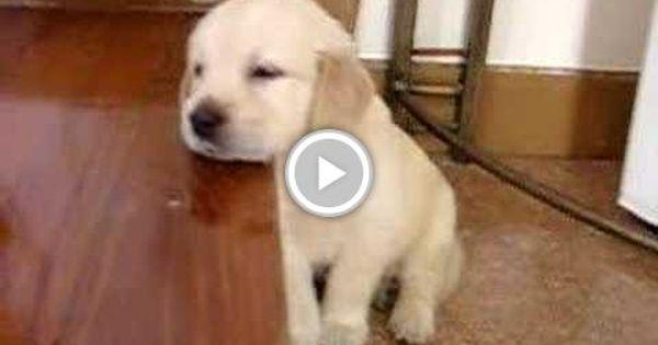 Pin By Orlene Carey On Dog Training Sleeping Puppies Retriever