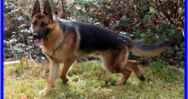 Vomwalters Puppies And Litters German Shepherd Breeder Northern
