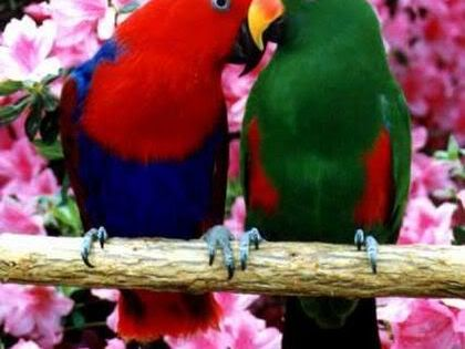 Red Sided Eclectus:_ The Red-sided Eclectus originates from the large island of