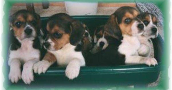 River Bottom Beagles Litchfield Mn Beagle Animals