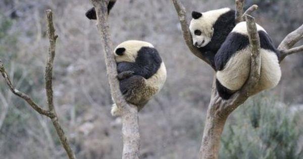 #animals wild nature panda trees nature