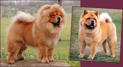 National Chow Chow Club Chow Puppies For Sale Chow Chow Dog