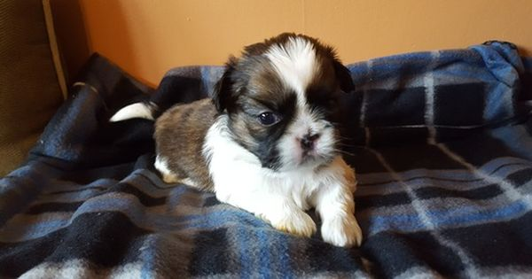 Litter Of 3 Shih Tzu Puppies For Sale In Saint Joseph Mo Adn