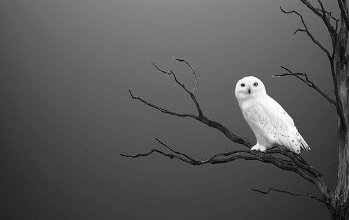 Bird | White Owl