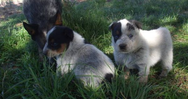 Adorable Australian Cattle Dog Blue Heeler Queensland Heeler