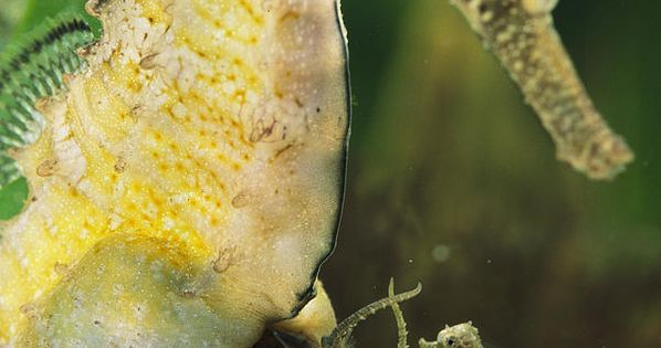 A Male Sea Horse. Sea Horse babies are born and released from