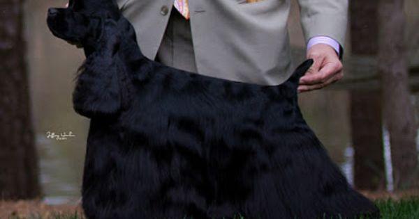 Atlanta Ga Day One Black Cocker Spaniel American Cocker Spaniel Cocker Spaniel