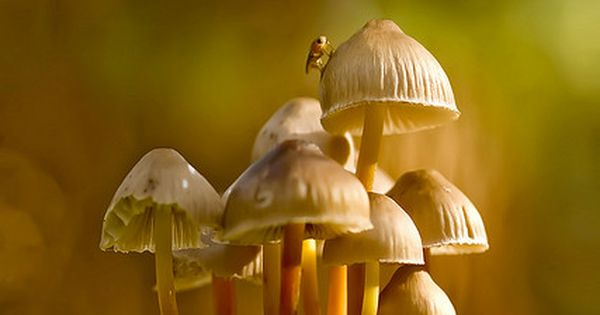 Clustered Bonnet Mushrooms by wentloog, via Flickr