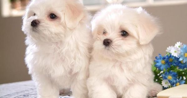 Akc Bichon Frise Puppies For Sale Bichon Frise Puppy Cute Dogs Maltese Puppy