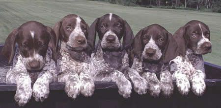 Current Litter Available Puppies Of Sunup German Shorthair German Shorthaired Pointer Pointer Puppies German Longhaired Pointer