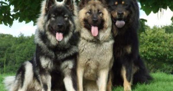 Dog Blog Dog Breed Eurasier Dog Breed Pictures Eurasier Dog Breeds Pictures Dog Breeds