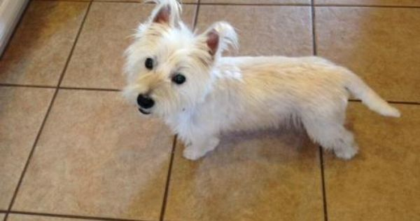 Adopt Mcgee On Westie Puppies