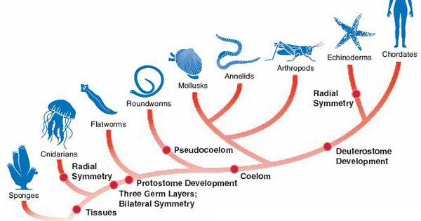 Animalia - cladogram. (simplified, but pretty)   Science ...