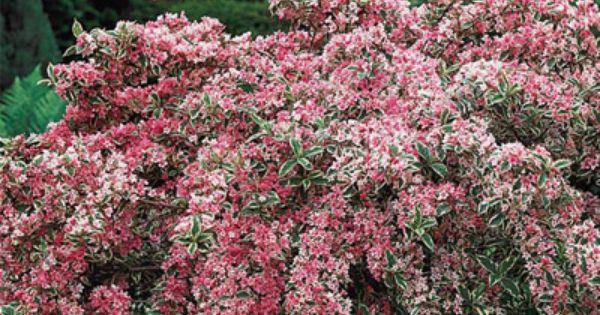 Varigated Weigelia Blooms All Summer Garden Pinterest
