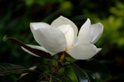 Magnolia Wedding Flowers Lovetoknow Magnolia Wedding Flowers Magnolia Wedding Magnolia Bouquet