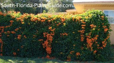 Plant Care For Florida Flame Vine Covers A Fence