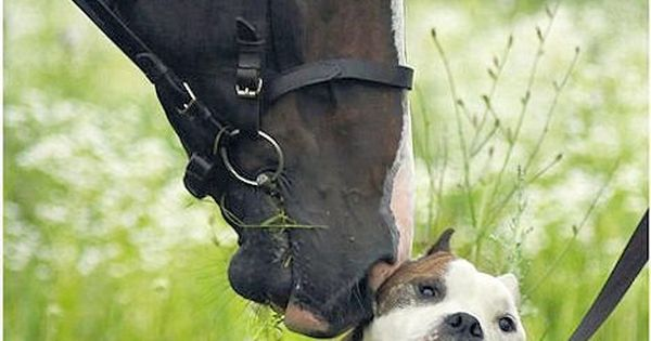 aw ~ Even horses love pitbulls :D