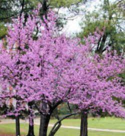 Oklahoma State Tree Eastern Redbud Fabaceae Cercis Canadensis Eastern Redbud Eastern Redbud Tree Trees To Plant
