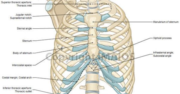 Detailed diagrams and information regarding the chest bones and chest bones  anatomy. http://www.learnbones.com/che… | Anatomy bones, Thoracic cavity,  Thoracic cagePinterest