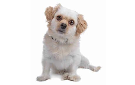 Maltese Shih Tzu Dog Breed Information Pictures Characteristics