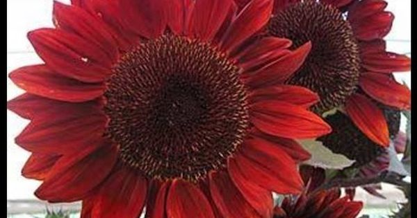 How To Grow Red Sunflowers From Seeds Planting A Sunflower Start To Red Sunflowers Beautiful Flowers Red Flowers
