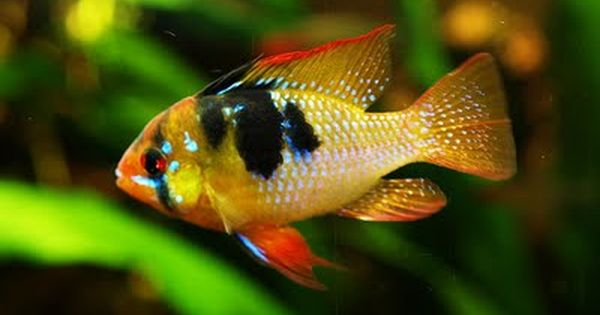 Dwarf butterfly cichlid for classic south american for Community freshwater fish