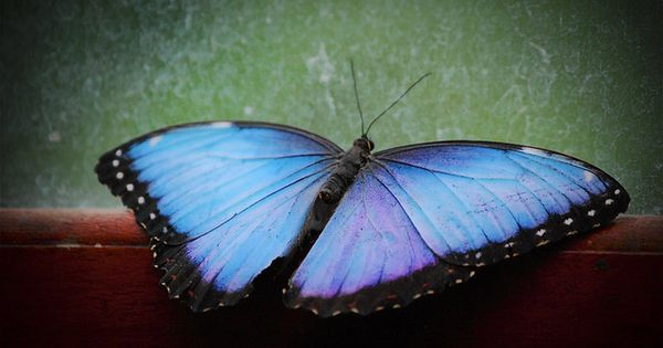 A photo I took in Costa Rica, Such a beautiful color! Butterfly