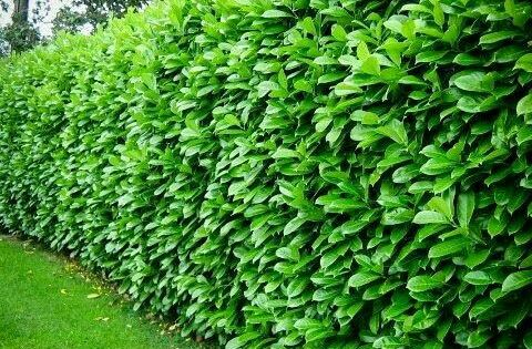 Cherry Laurel 6 8 Tall 4 6 Wide Evergreen No Blooms