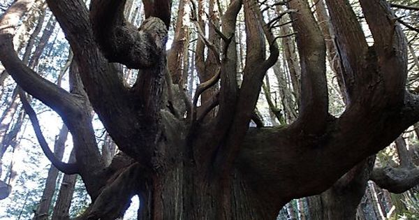 That would be awesome to climb! 'Candelabra' Redwood in Northern California's 'Enchanted