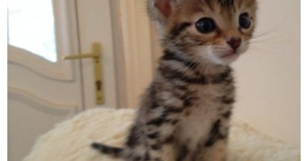 Sqble Amazing Tica Bengal Kittens Available Now Bengal Kitten American Shorthair Cat Abyssinian Cats
