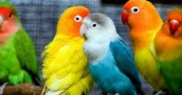 suara love bird juara nasional