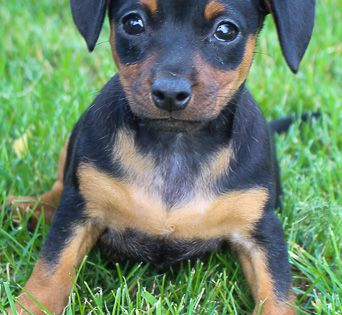 Meet Sophie Find Cute Miniature Pinscher Puppies Dogs And Breeders At Vippuppies Com View Now Bichon Frise Puppy Miniature Pinscher Puppy Puppies