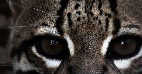 Ocelot (Leopardus pardalis) They range from light yellow, to gold, reddish grey