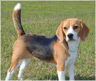 Beagle Dog Breed Facts And Personality Traits Low Maintenance