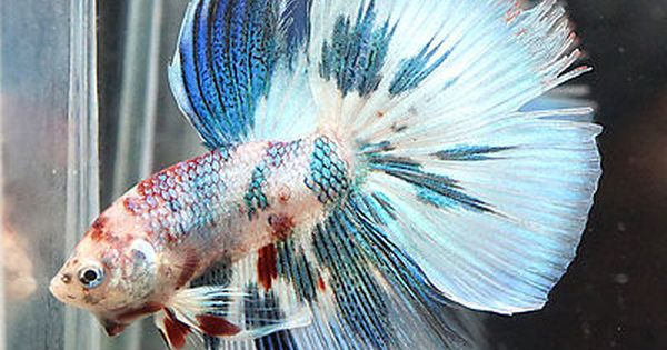 Rare multi colors koi galaxy halfmoon hm betta fish for Rare koi fish