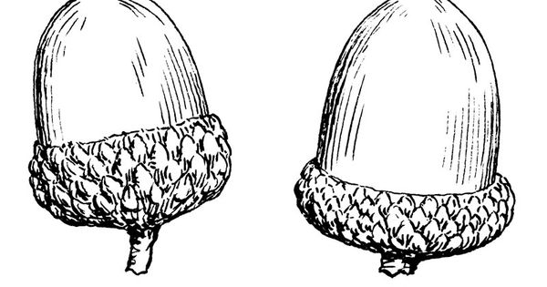 Acorn Arms Colouring In: ACORN PICTURES, PICS, IMAGES AND PHOTOS FOR YOUR TATTOO