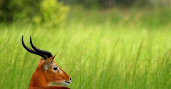 Uganda Kob (by Jonas Van de Voorde). African antelope