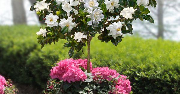 gardenia plant care instructions