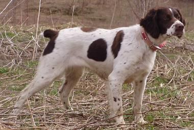 Brittany Spaniel Liver Google Search Brittany Dog Brittany Spaniel Brittany Puppies