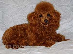 Rosie A Female Red Toy Poodle Caniche