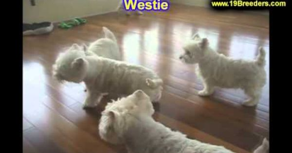 Westie Puppies For Sale In Minneapolis Minnesota Mn