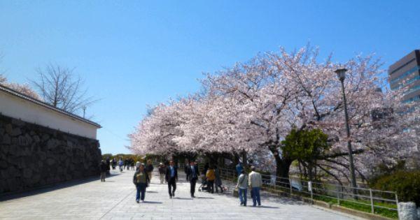 Cherry Blossoms In Fukoka City Cherry Blossom Festival Cherry Blossom Hanami