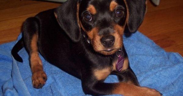 Meagle Beagle Miniature Pinscher Hybrid Dog Mixed Breed