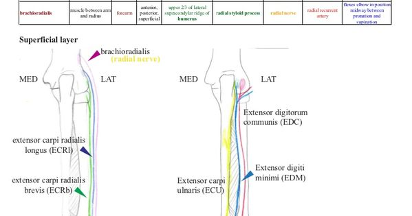 Quiz / Test: Extensors of the forearm   Kenhub